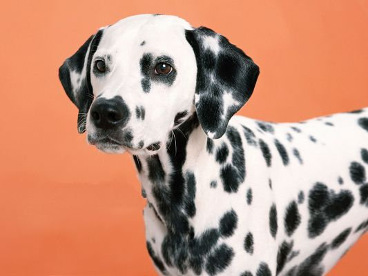 click to free download the wallpaper--Dalmatian Pet Dog Pic, Puppy in Peaceful Facial Expression, Cute Look