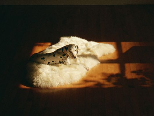 click to free download the wallpaper--Dalmatian Pet Dog Pic, Sunlight Pouring on White Carpet and the Cute Puppy