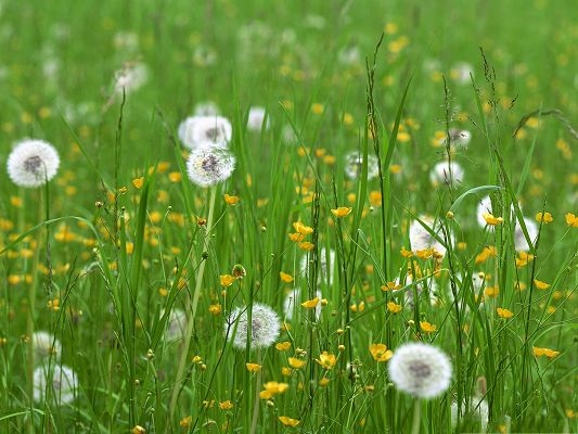 click to free download the wallpaper--Dandelion Flower Images, White Flowers and Green Grass, Spring Flowers Field