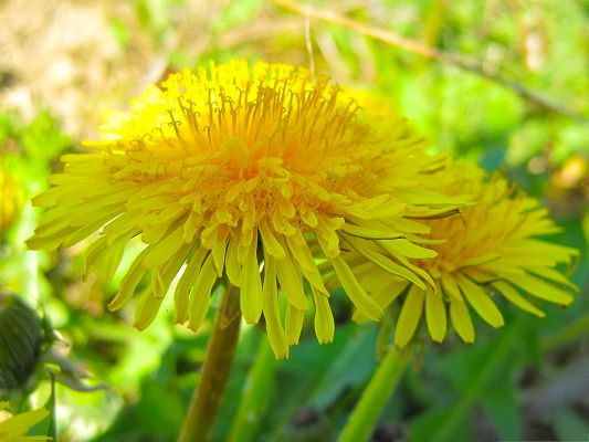 click to free download the wallpaper--Dandelion Flowers Image, Golden Flowers with Strong Sunshine, Green Grass Beneath