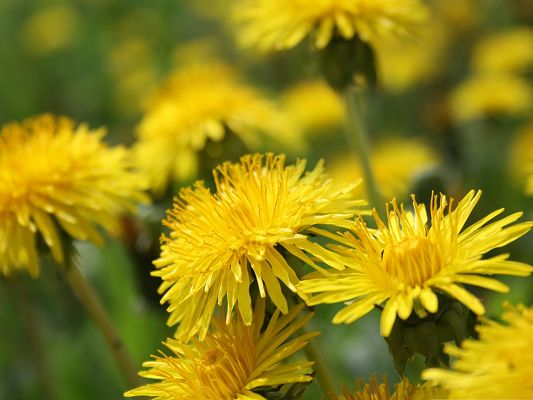 click to free download the wallpaper--Dandelion Flowers Picture, Yellow Flower in Bloom, Amazing and Impressive