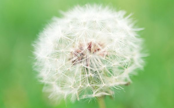 click to free download the wallpaper--Dandelion Image, Ripe Seeds, Can Fly Away at the Next Second