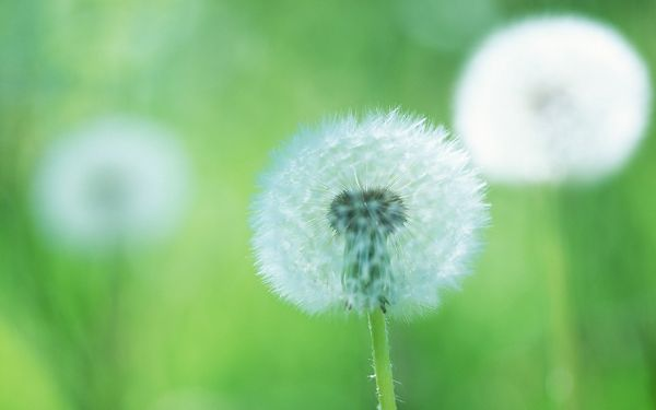 click to free download the wallpaper--Dandelions Image, Romantic and Dreamy Scene, Can be Gone at Any Time