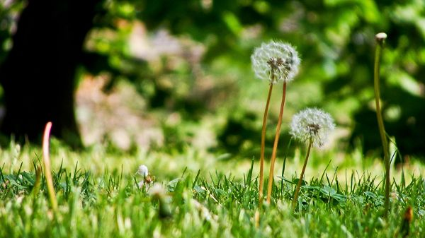 Dandelions in Extremely Good Health Condition, When Will They Take the Leaving Step? - HD Photography Wallpaper