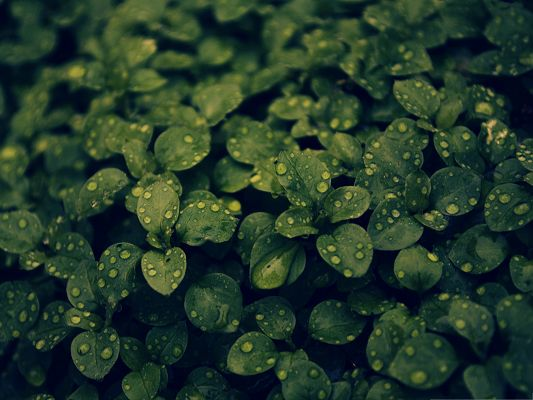 click to free download the wallpaper--Dark Green Plant Picture, Rain Drops on Green Plant, Amazing Scenery