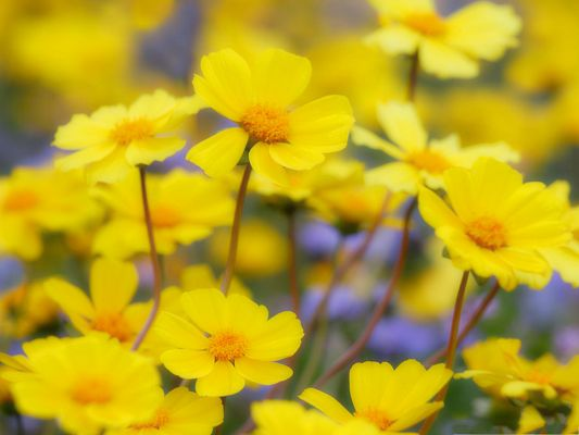 click to free download the wallpaper--Desert Flowers Picture, Yellow Flowers and Brown Stem, Great in Look