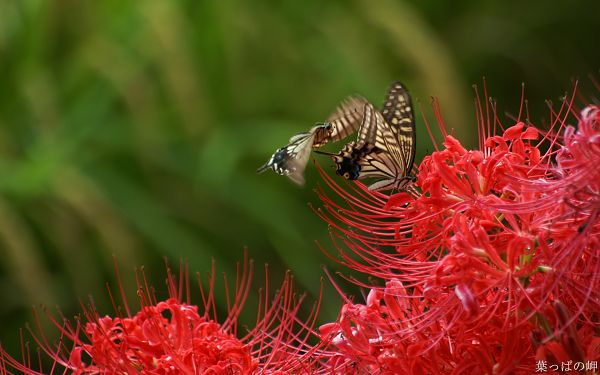 click to free download the wallpaper--Digital Flower Photography, Butterflies on Red Flower, Never Depart