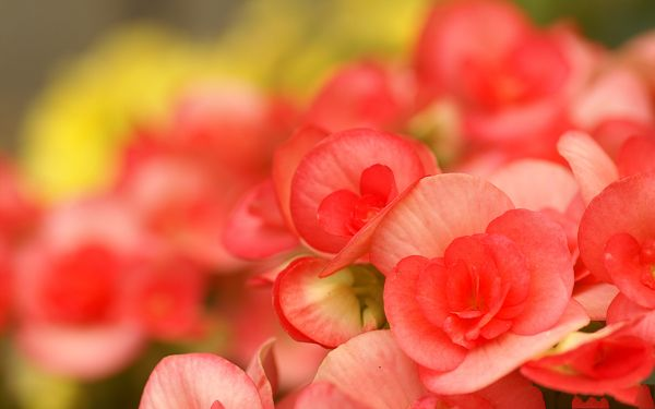 click to free download the wallpaper--Digital Flower Photography, Red Flowers in Full Bloom, Fuzzy Scene