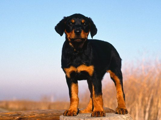 click to free download the wallpaper--Doberman Pinscher in Stand