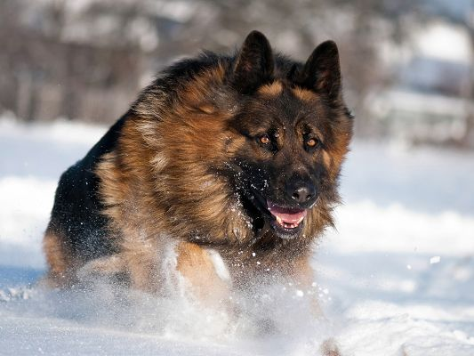 click to free download the wallpaper--Dog Pictures - German Shepherd Running In Snow, Eyes Focusing on the Distant