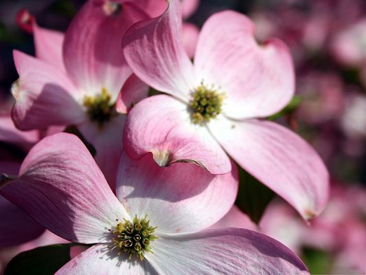 click to free download the wallpaper--Dogwood Flowers Image, Pink and Beautiful Flowers, Nice-Looking and Impressive