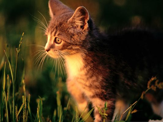 click to free download the wallpaper--Egyptian Cat Photo, Wild Kitty Staying Outdoor, Focusing on Grass