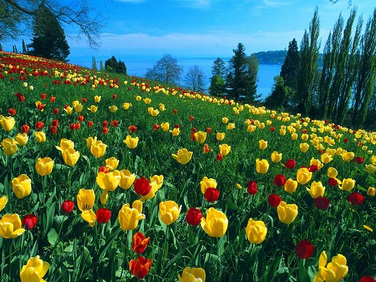 click to free download the wallpaper--Field of Tulips Post in Pixel of 1600x1200, Colorful Tulips in Full Bloom, They Are Easy to Apply and Shall Look Good - HD Natural Scenery Wallpaper