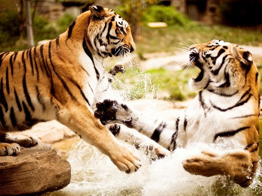 click to free download the wallpaper--Fighting Tigers Image, Playing in River, Serious Fight