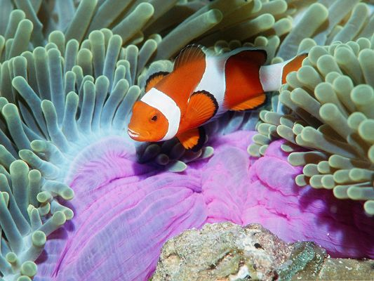 click to free download the wallpaper--Fish Picture, Cute and Tiny Anemonefish, Are Your Nemo?