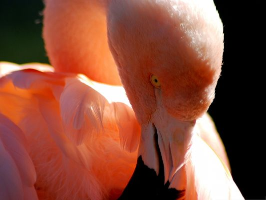 click to free download the wallpaper--Flamingo Bird Picture, Charming Bird in Light Pink Feather, Romantic Bird