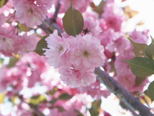 click to free download the wallpaper--Floral Image, Cherry Blossom, a Symbol of Japan