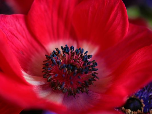 Floral Nature Landscape, Red Flower Under Micro Focus, Blue Stamen