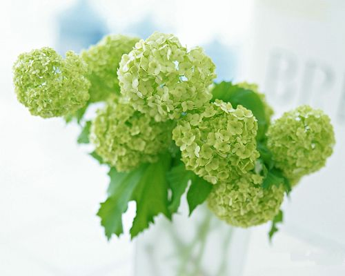 click to free download the wallpaper--Flower Art, Green Flowers in Hydrangea, Interior Scene
