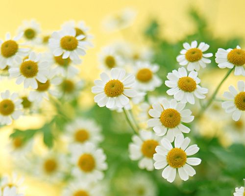 click to free download the wallpaper--Flower Art Photography, White Little Flowers in Bloom, Smile Toward the Sun