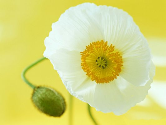 click to free download the wallpaper--Flower Art Photography, White and in the Form of Horn