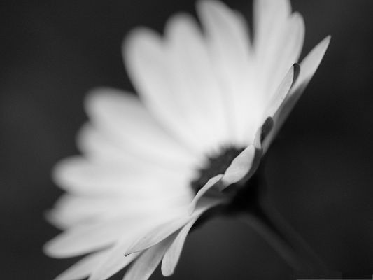 click to free download the wallpaper--Flower Monochrome Image, White Blooming Flower on Fuzzy Background, Impressive Look