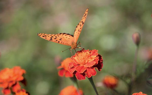 click to free download the wallpaper--Flower Photography, Both Butterfly and Flower in Orange, Never Leave Each Other