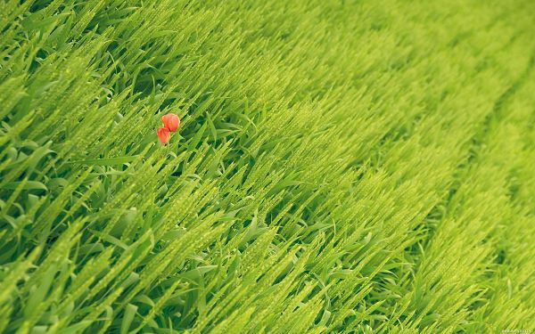 click to free download the wallpaper--Flower Photography, a Little Red Flower Among Green Scene