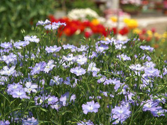 Flower photos blue and red flowers green long stem for Blue long stem roses
