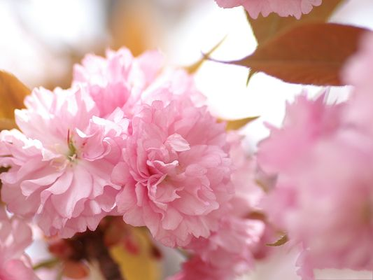 click to free download the wallpaper--Flower Photos, Pink Blooming Flowers, Sweet and Romantic Scene