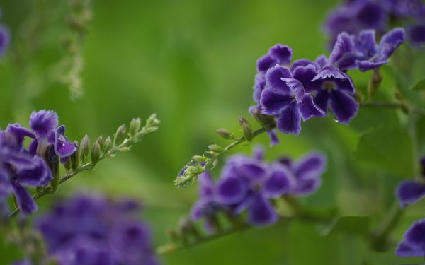 click to free download the wallpaper--Flower Photos, Purple Flowers on Green Background, Incredible Look