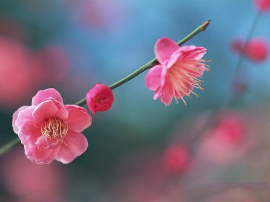 click to free download the wallpaper--Flower Picture Art, Blooming Pink Peaches, Thin Green Branch