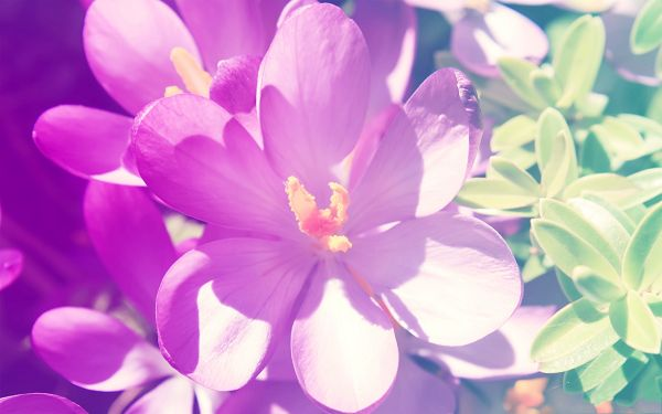 click to free download the wallpaper--Flower Pictures, Purple Flowers in Bloom, Green Leaves, Looking Great
