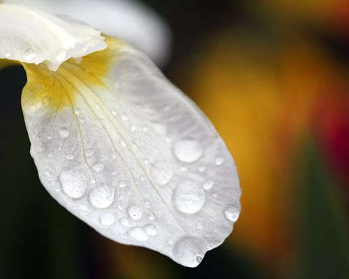 click to free download the wallpaper--Flower Wallpaper, Waterdrops on White Petal, Great Morning Scene