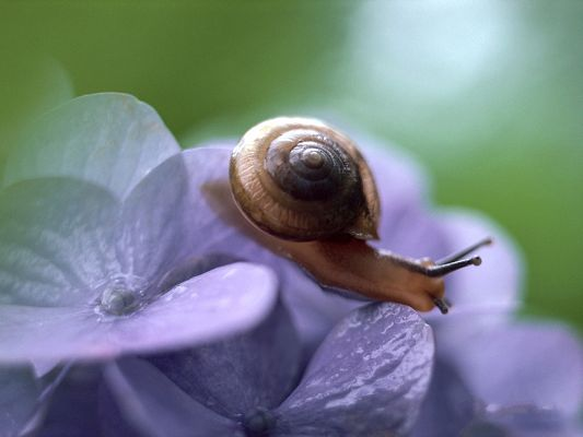 click to free download the wallpaper--Flower and Animal, Little Snail on Purple Flowers, Green Background