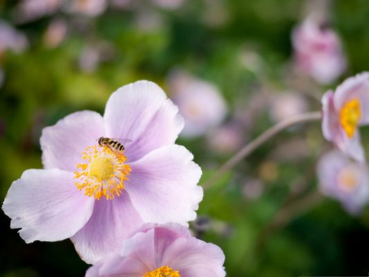 click to free download the wallpaper--Flower and Insects, Hoverfly On a Pink Flower, Work Hard on It