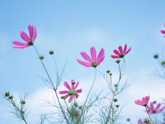 click to free download the wallpaper--Flower and Nature, Pink Blooming Flowers Under the Blue Sky, Amazing Scene