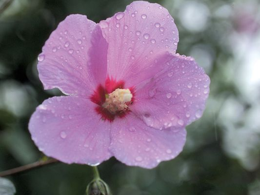 click to free download the wallpaper--Flowers Desktop, Pink Flower with Waterdrops, Fresh and Morning Scene