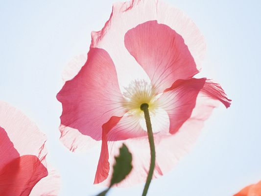 click to free download the wallpaper--Flowers Desktop Wallpaper, Pink Blooming Flower Under the Sun, Amazing Look