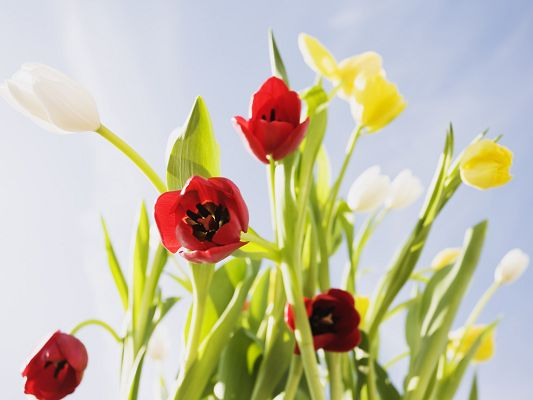 click to free download the wallpaper--Flowers Desktop Wallpaper, Tulips in Various Colors, the Blue Sky