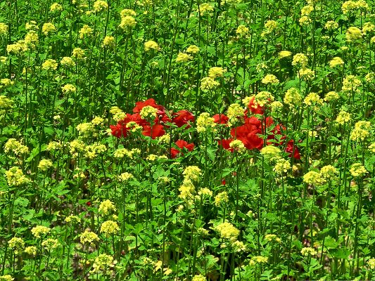 click to free download the wallpaper--Flowers Field Picture, Red Flowers Among Green Field, What a Contrast!