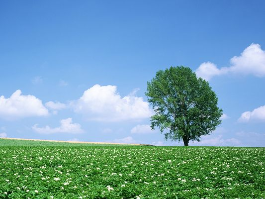 click to free download the wallpaper--Flowers Field Picture, a Full Eye of White Flowers, a Tall Green Tree