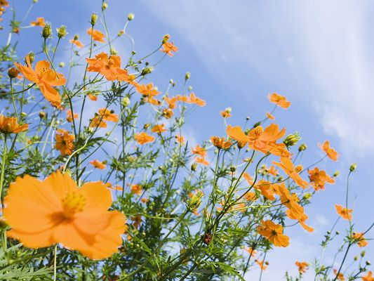 click to free download the wallpaper--Flowers Image, Orange Flowers Under the Blue Sky, Happy in Smile