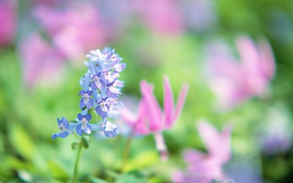 click to free download the wallpaper--Flowers Photo, Soft Effect, Light Blue and Pink, Dreamy Scene