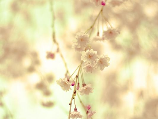 click to free download the wallpaper--Flowers Twig Picture, White and Tiny Flowers, Sunshine Pouring on