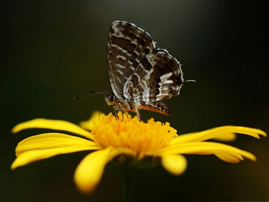 click to free download the wallpaper--Flowers and Butterfly, Gray Butterfly on Yellow Flower, Great Lovers!