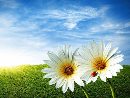 click to free download the wallpaper--Flowers and Insect, Ladybug on White Blooming Flowers, the Blue Sky Above