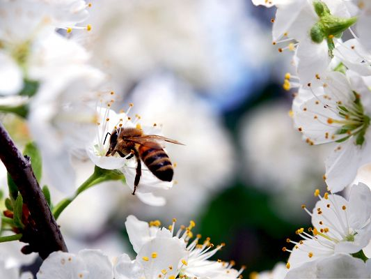 click to free download the wallpaper--Flowers and Insect, a Bee on Blooming Cherry Flowers, Clean and Fresh Scene