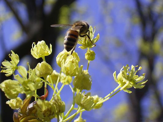 click to free download the wallpaper--Flowers and Insect, a Bee on Maple Flowers, Never Stop Working