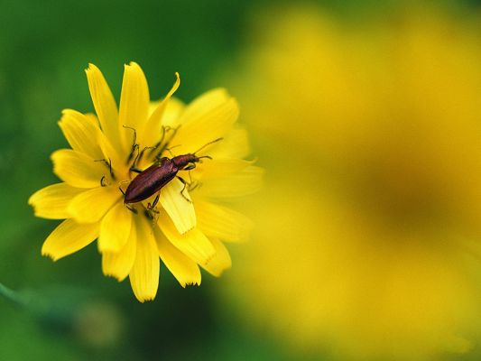 click to free download the wallpaper--Flowers and Nature, Little Insect on Yellow Blooming Flower, Green Background